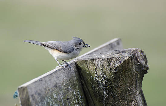 Heather Applegate - Tufted Titmouse with Seed