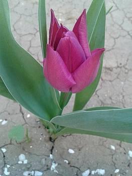 Tulip by Andreea Alecu