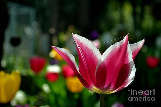 Tulip by Bener Kavukcuoglu