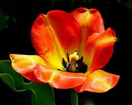 Rosanne Jordan - Tulip Bliss