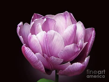Tulip 'Blue Diamond' by Irina Gladkaja