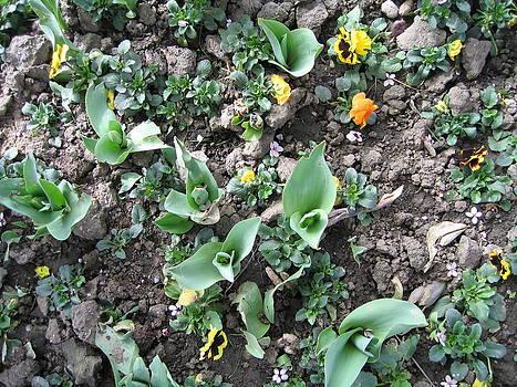Tulip buds by Florinel Nicolai Deciu