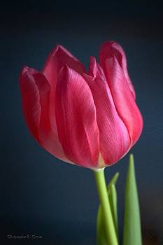 Tulip by Christopher Grove