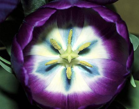 Brian King - Tulip Closeup