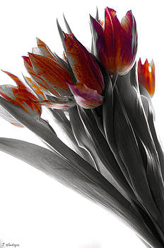 Tulip Color Block by Joseph Hedaya