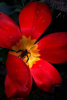 Tulip by Emilija Jovanovic