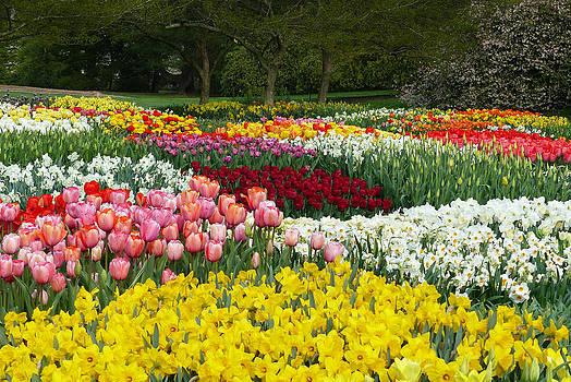 Tulip Extravaganza by Cindy McDaniel