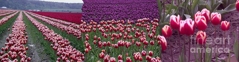 Tulip Feilds by Wendy Martin