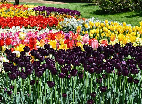 Tulip Field 1 by Wanda J King