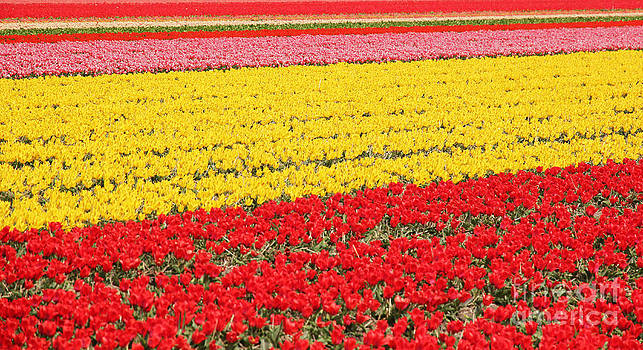 Jasna Buncic - Tulip fields 1