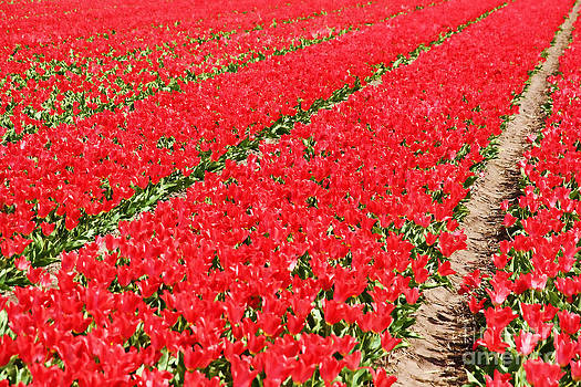 Jasna Buncic - Tulip fields 3