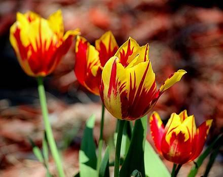 Rosanne Jordan - Tulip Flames