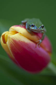 Tulip Frog by Summer Kozisek