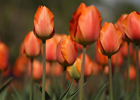 John Cardamone - Tulip Garden