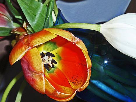 Tulip by Gene Garrison