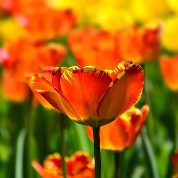 Tulip by Gynt