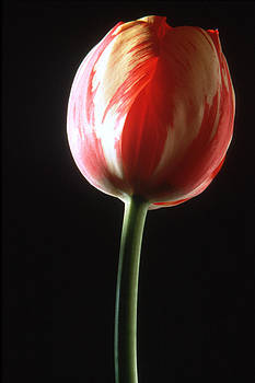 Harold E McCray - Tulip I