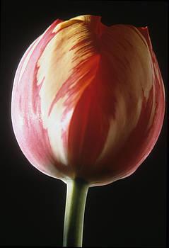 Harold E McCray - Tulip II