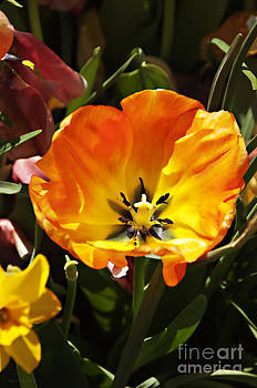 Nancy Stein - Tulip In Bloom