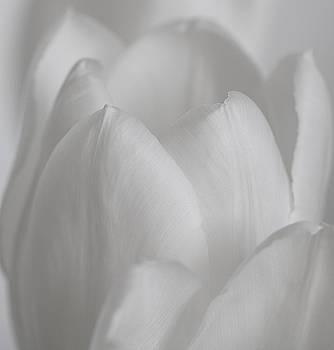 Tulip  by Kim Aston