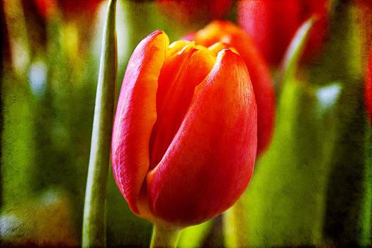 Milena Ilieva - Tulip Loveliness