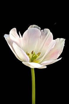 Tulip by Paul Staniszewski