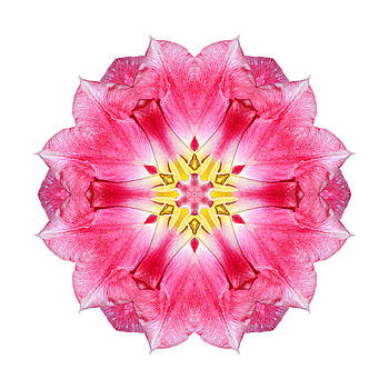 Tulip Peach Blossom III Flower Mandala White by David J Bookbinder