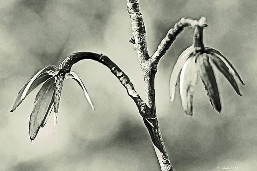 Mother Nature - Tulip Poplar Empty Seed Heads - Black and White