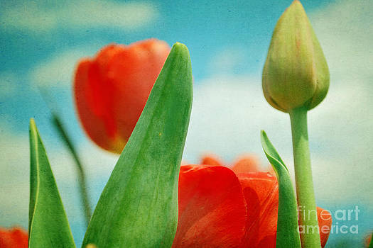 Tulip Salute by Sharon Coty