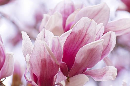 Tulip Tree Blooms by Debra Crank