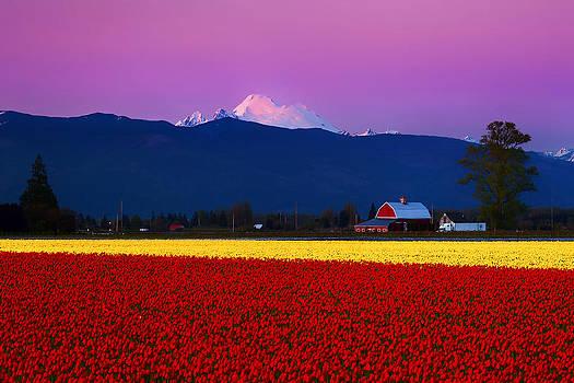 Tulip Twilight by Ryan Manuel
