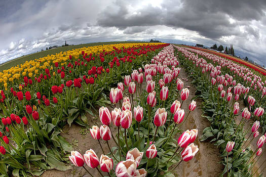 Tulip World by Summer Kozisek