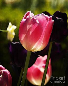 Nancy Stein - Tulipa Gesneriana