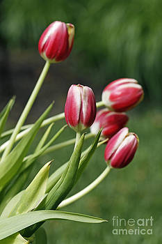 Tulips 2 by Denise Pohl