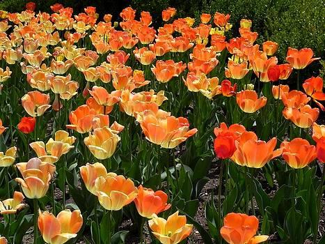 Tulips by Adrienne Petterson