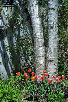 Tulips and Birch Trees by Judy Salcedo