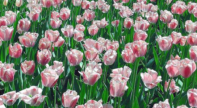 Tulips by Archie Reyes