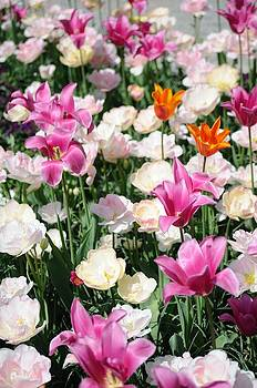 Tulips by Arylana Art