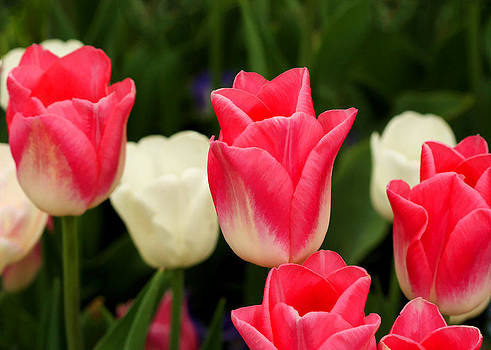 Ely Arsha - Tulips at Thanksgiving Point - 13