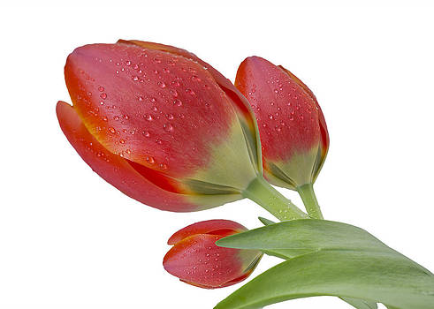 Tulips Blank Greeting Card by Mariola Szeliga