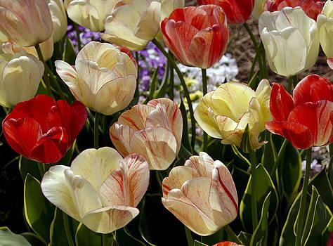 Tulips by Debra Crank