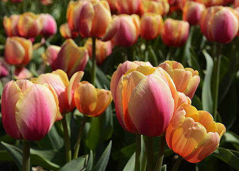 Tulips from Amsterdam by Eric Keesen