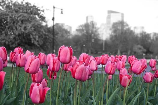 Tulips by Galexa Ch