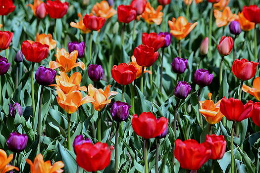 Rosanne Jordan - Tulips Galore