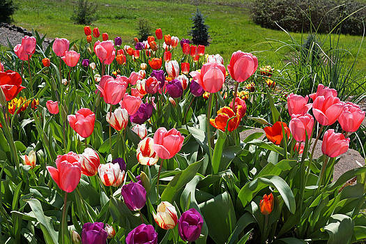 Baslee Troutman - TULIPS Garden Art Prints Colorful Spring Floral