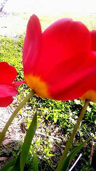 Tulips In Front Yard by Dustin Soph