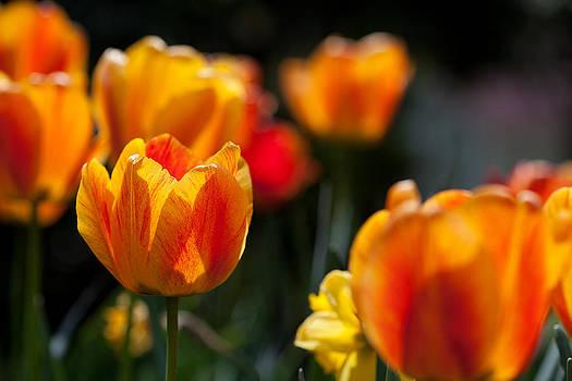 Tulips in the Garden by Karol Livote