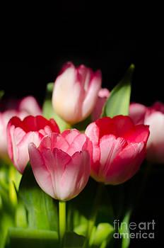 Tulips in the Light II by Chris Ann Wiggins