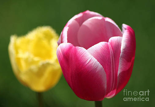 Tulips by Jeff Breiman