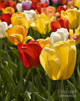 Tulips by John Remy